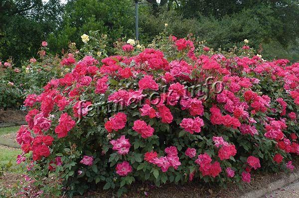 Кусты чайно-гибридных роз обычно формируют в виде шара
