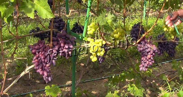 Выращивание винограда Байконур проводится исключительно на устойчивых опорах или шпалере