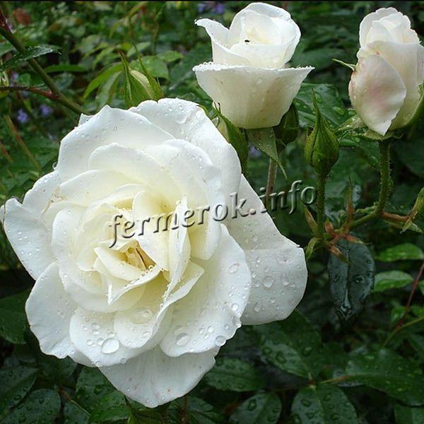 Фото чайно-гибридной белой розы сорта Вирго (Virgo)