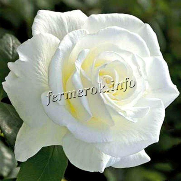 Фото чайно-гибридной белой розы сорта Вайт Кристмас (White Christmas)