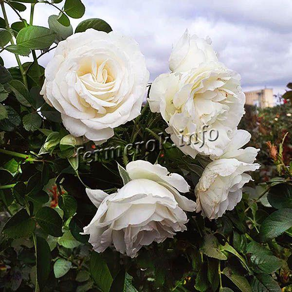 Фото чайно-гибридной белой розы сорта Снегурочка
