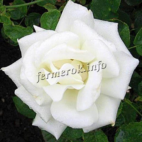 Фото чайно-гибридной белой розы сорта Паскали (Pascali)