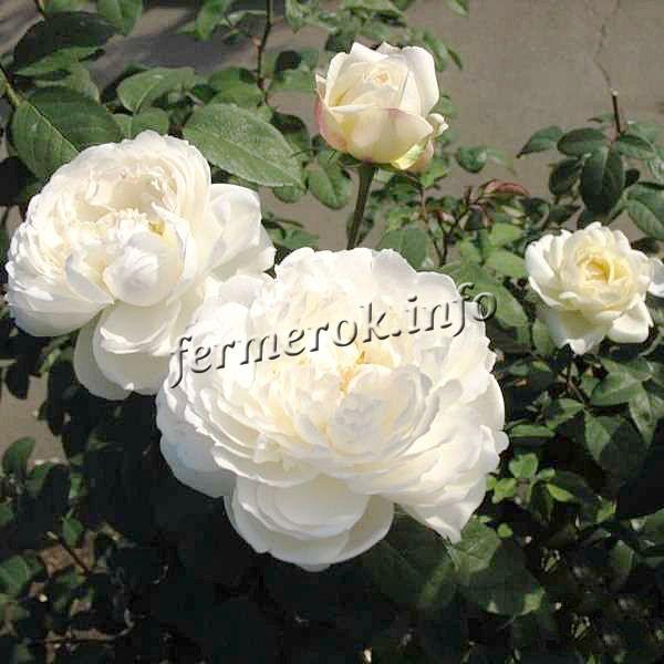Фото чайно-гибридной белой розы сорта Винчестер Собор (Winchester Cathedral)