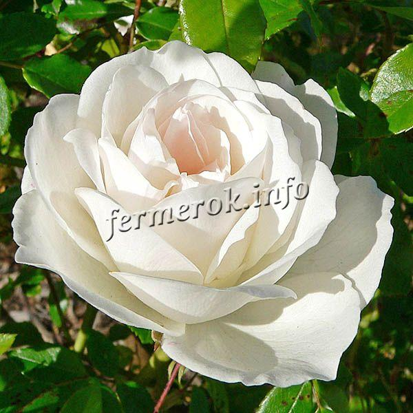 Фото розы флорибунда сорта Айсберг