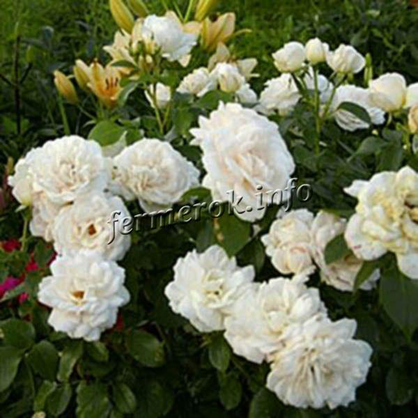 Фото розы флорибунда сорта Вайт Роудраннер