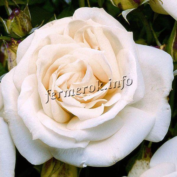 Фото розы флорибунда сорта Ла-палома