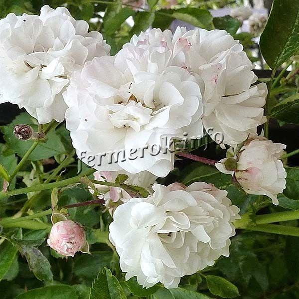 Фото белой плетистой розы сорта Вайт Дороти Перкинс