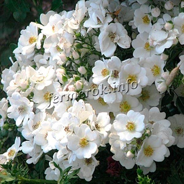 Фото почвопокровной белой розы сорта Свон Ковер