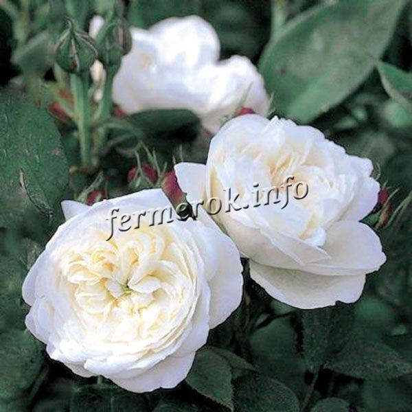 Фото почвопокровной белой розы сорта Справедливая Бианка