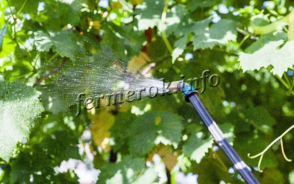 Опрыскивают виноградник от вредителей примерно 2-3 раза с перерывом в 1,5-2 недели