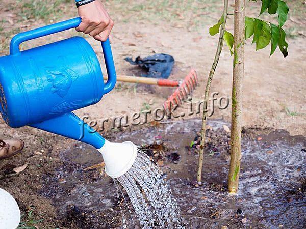 Первый месяц после посадки саженец поливают 2 раза в неделю по 2-3 ведра под каждое деревце