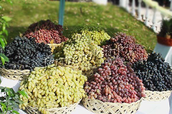 Сбор гроздей созревшего винограда проводят в сухую ясную погоду