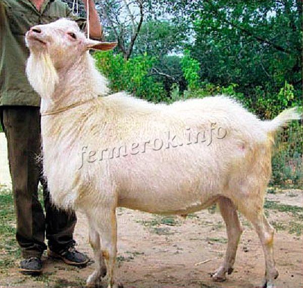 Чистопородный козел производитель