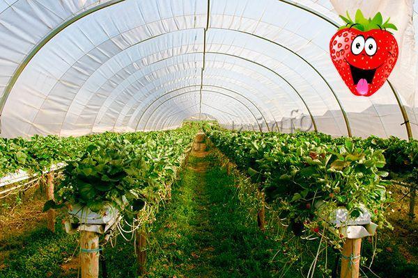 Чтобы сэкономить место, можно сажать клубнику в теплицах не только на земле