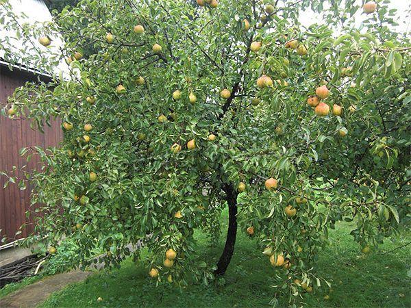 Дерево растет до 2 метров и иногда причисляется к карликовым