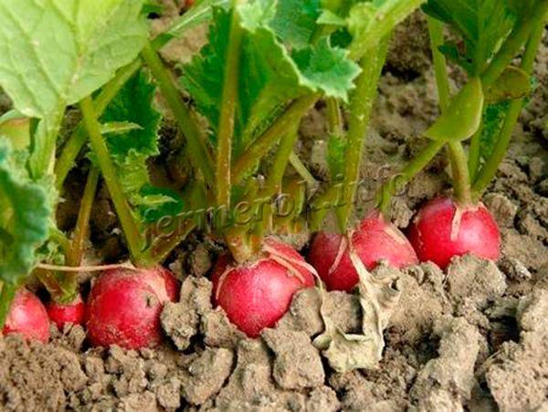 Для посадки редиса лучше использовать местные сорта