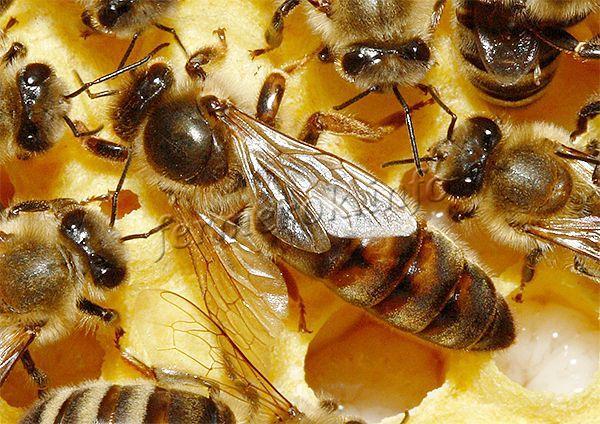 Дольше всего из всех видов пчел живет именно матка – 3-4 года на пасеке