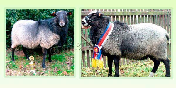 Экстерьер Романовской породы овец