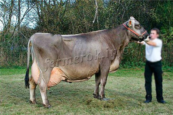 Экстерьер Швицкой породы коров