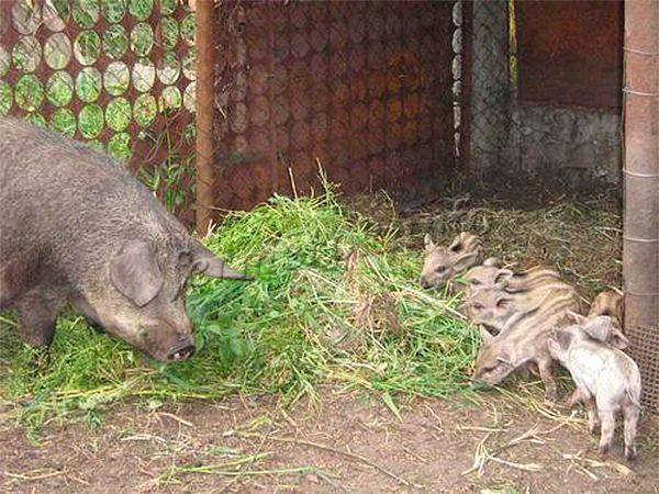 Свиньи породы Мангал по большей части травоядная порода