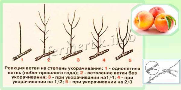 Формирование ветви с помощью обрезки