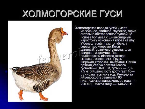 Характеристика Холмогорских гусей