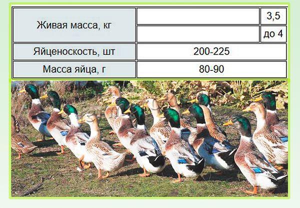 Характеристики Башкирской утки