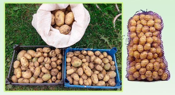 Хранение урожая картофеля Гала