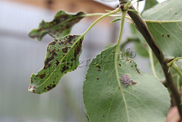 Кальций, а вернее его отсутствие в земле проявляется в виде пятнышек на листиках