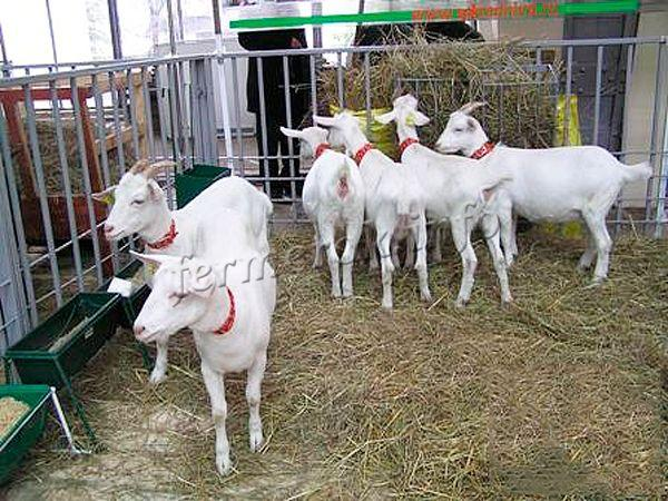 Кормление Зааненских коз