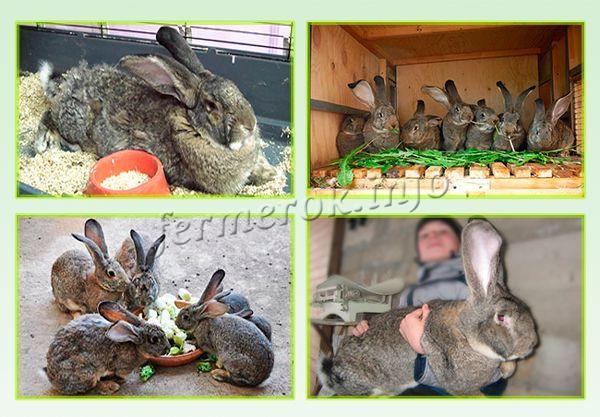 Кормление кроликов породы Фландр
