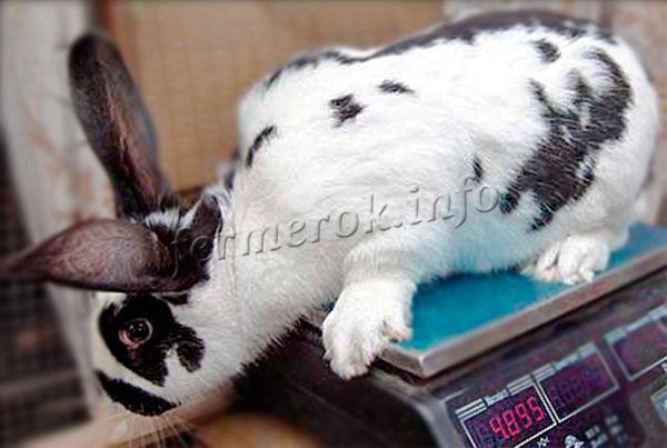 Кролики Бабочка могут весить до 4,5 кг