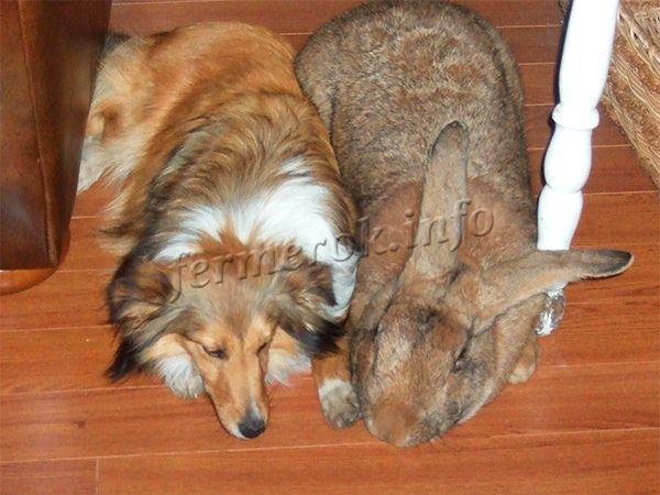 Кролики породы Ризен могут достигать веса в 14 кг
