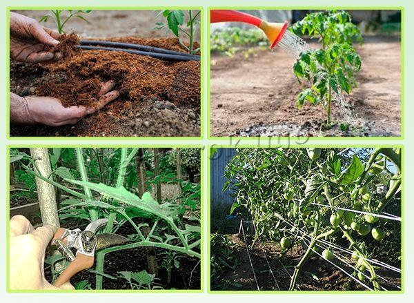 Кропотливый уход позволит получить с квадратного метра 5-8 кг плодов