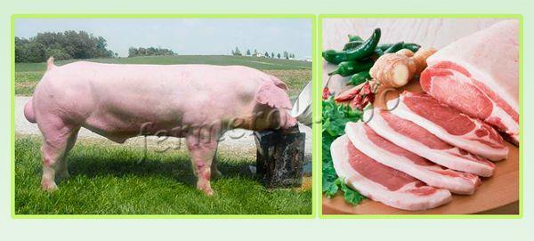 Ландрас - мясная порода свиней. Толщина сала 2 см