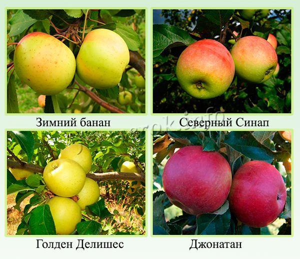 Лучшие зимние сорта яблонь