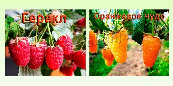 Малина Геракл и Оранжевое чудо