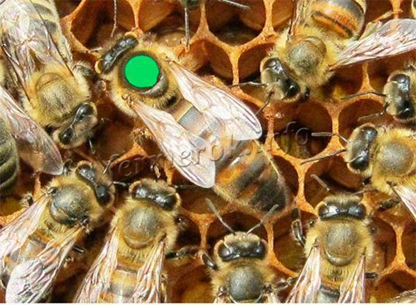 Матка с рабочими пчелами