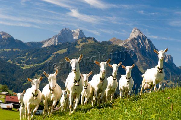 Молодому бизнесмену необходимо попрактиковаться на разведении 10 коз