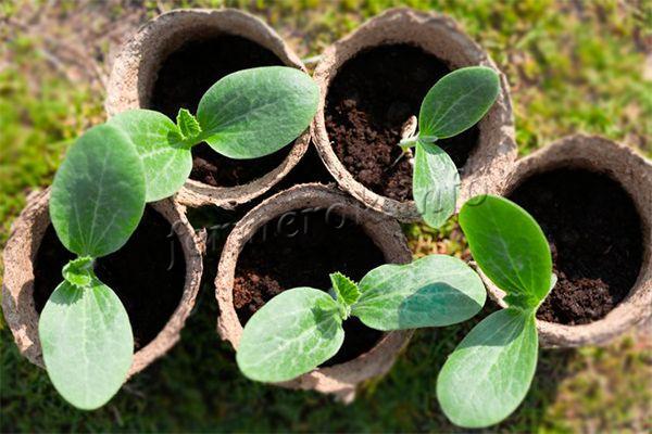 Можно заготовить рассаду, только желательно в торфяных стаканчиках, так как пересадку молодые растения этого вида не любят