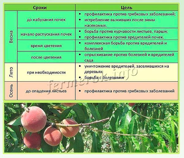 На протяжении всего года, не считая зимы, персик нужно подкармливать