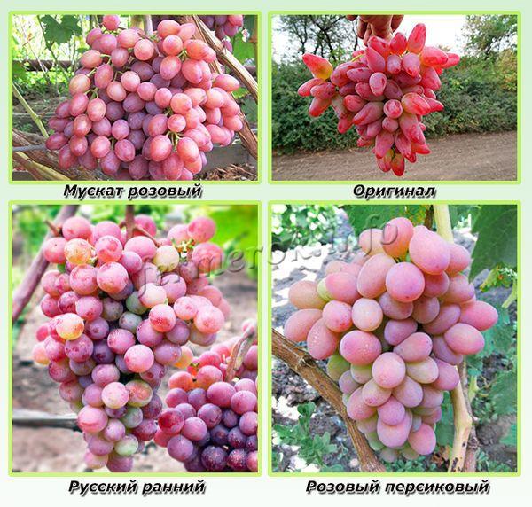Наиболее сладкие сорта розового винограда