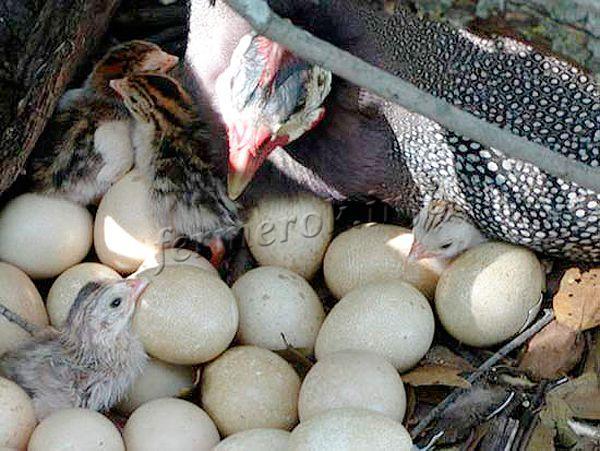 Недостаток яиц может быть причиной не плохих условий или болезней, а просто недостатком самок