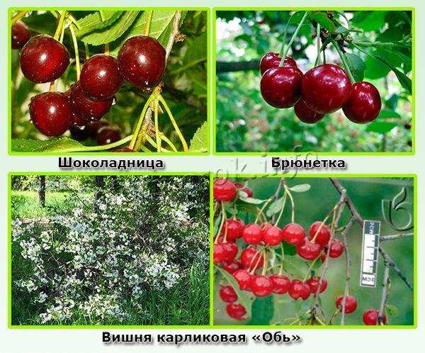 Низкорослые самоплодные вишни