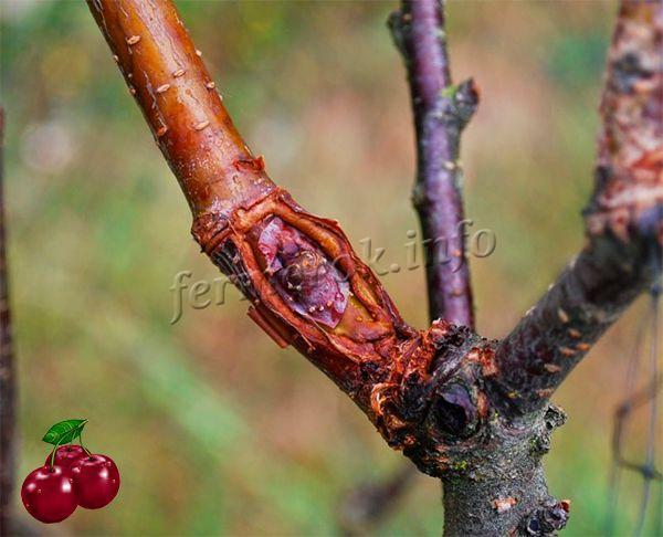 Обработка антисептиком привитого дерева