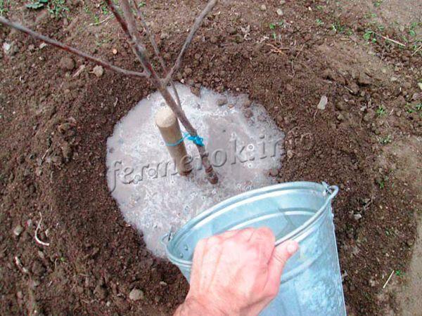 Осенью, в сентябре, из года в год под взрослое дерево персика нужно вносить 3-4 ведра навоза