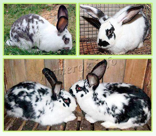 От содержания кролей во многом зависит качество получаемой шкурки