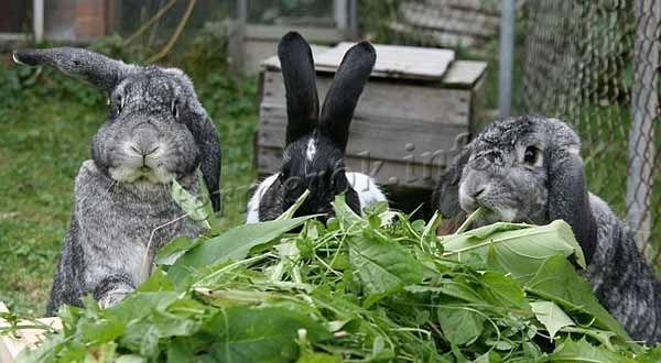 Откорм кролей на мясо