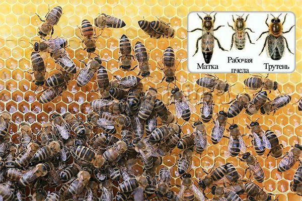 Пчелиная семья – это пчелы, которые уже смогли пережить хотя бы одну зиму