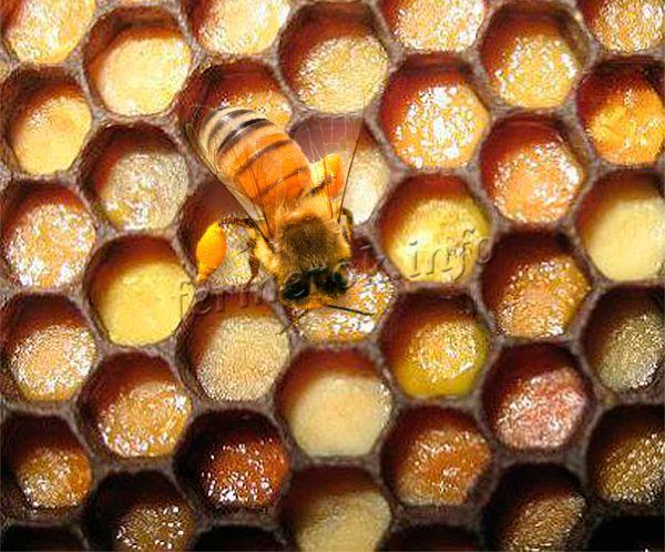 Перга – основная пища пчел и главный источник белков